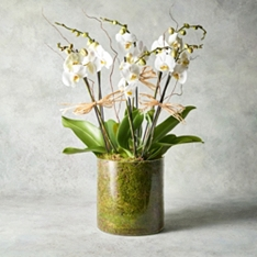 Triple Twin Stem Phalaenopsis Orchids in Glass Planter
