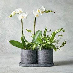 Duo of Phalaenopsis Orchid Stems in Pots