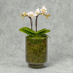 Mini Twin Stem Orchid in Glass Planter