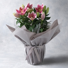 Gift Wrap Lily Plant