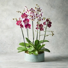 Trio of Mottled Orchids Planter