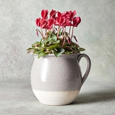Christmas Cyclamen Jug