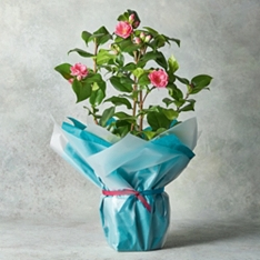 Mother's Day Dianthus Planter