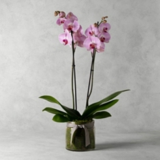 Twin Stem Orchid Planter & Champagne Biscuit