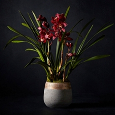 No.1 Cymbidium Orchid