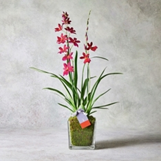 Valentine's Day Orchid Planter