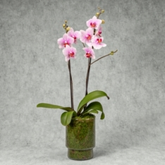 Twin Stem Orchid