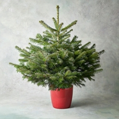 Potted Christmas Tree 3-4ft