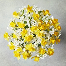 British Daffodils - ready to arrange