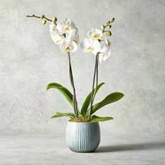 Twin Stem Phalaenopsis Orchid Planter