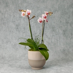 Twin Stem Orchids with Beaucarnea Grass Planter