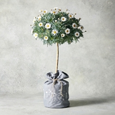 Marguerite Tree In Hessian Bag
