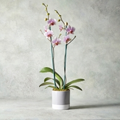 Twin Stem Pink Phalaenopsis Orchid in Ceramic Planter